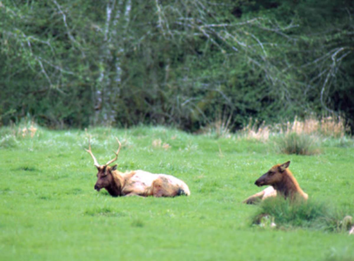 Elk in Jedediah Smith Redwoods State Park