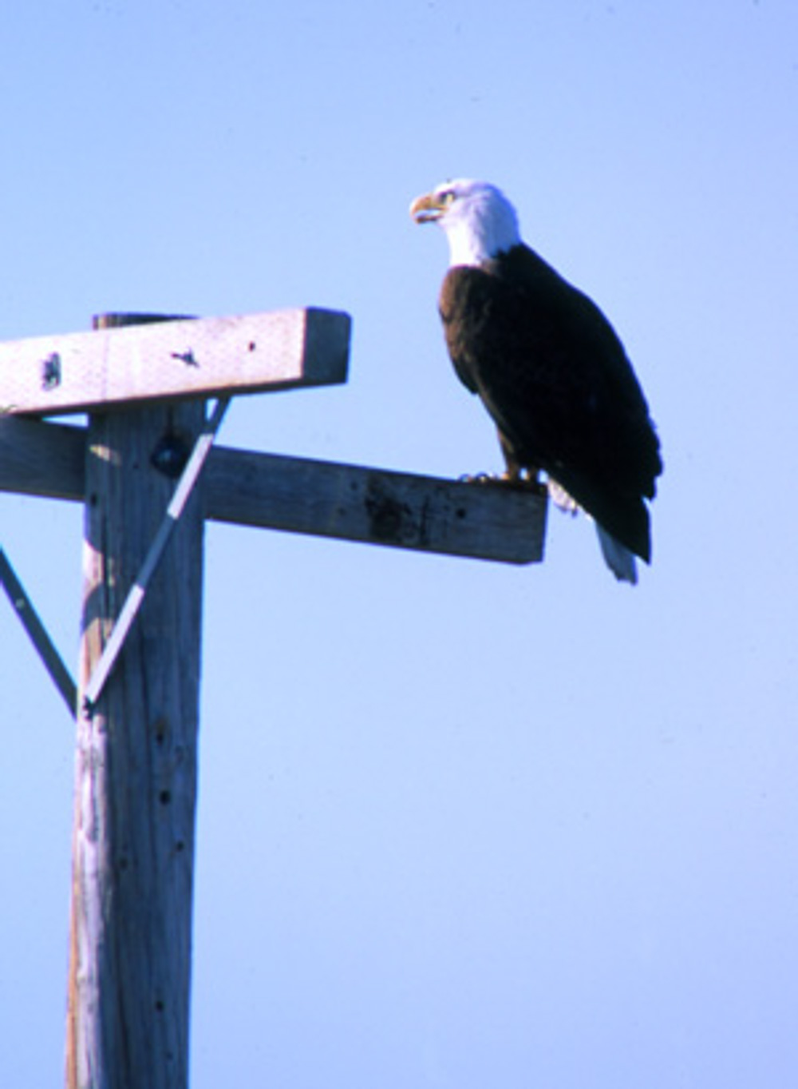 Tule lake, bald eagle