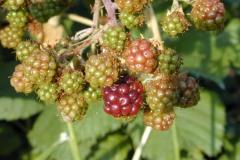 Historic Columbia River Highway, raspberries