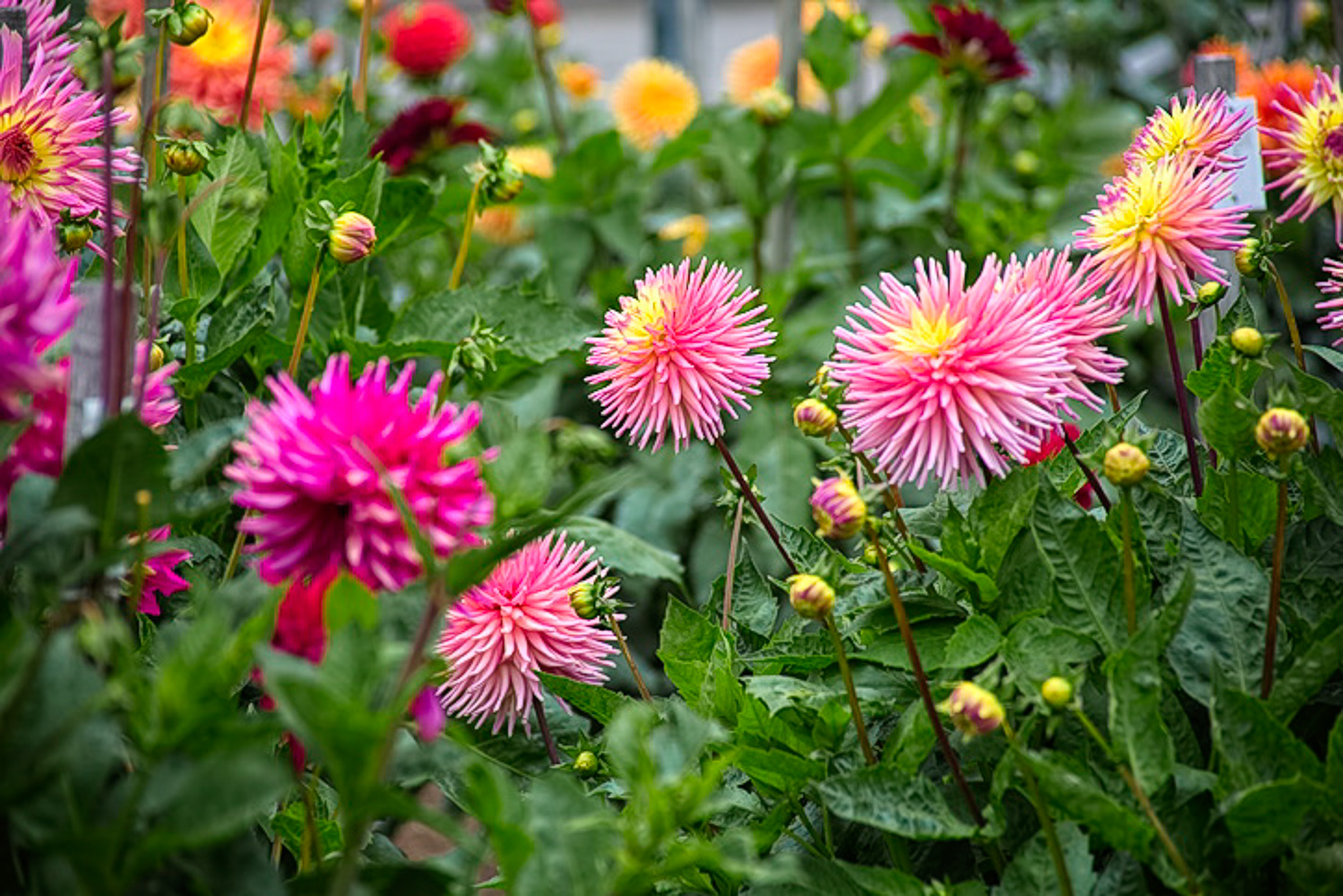 Golden Gate Park, dahlia garden