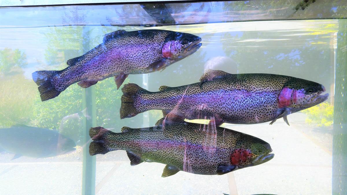 Rainbow trout at South Santiam Fish Hatchery