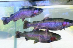 Rainbow trout at South Santiam Fish Hatchery