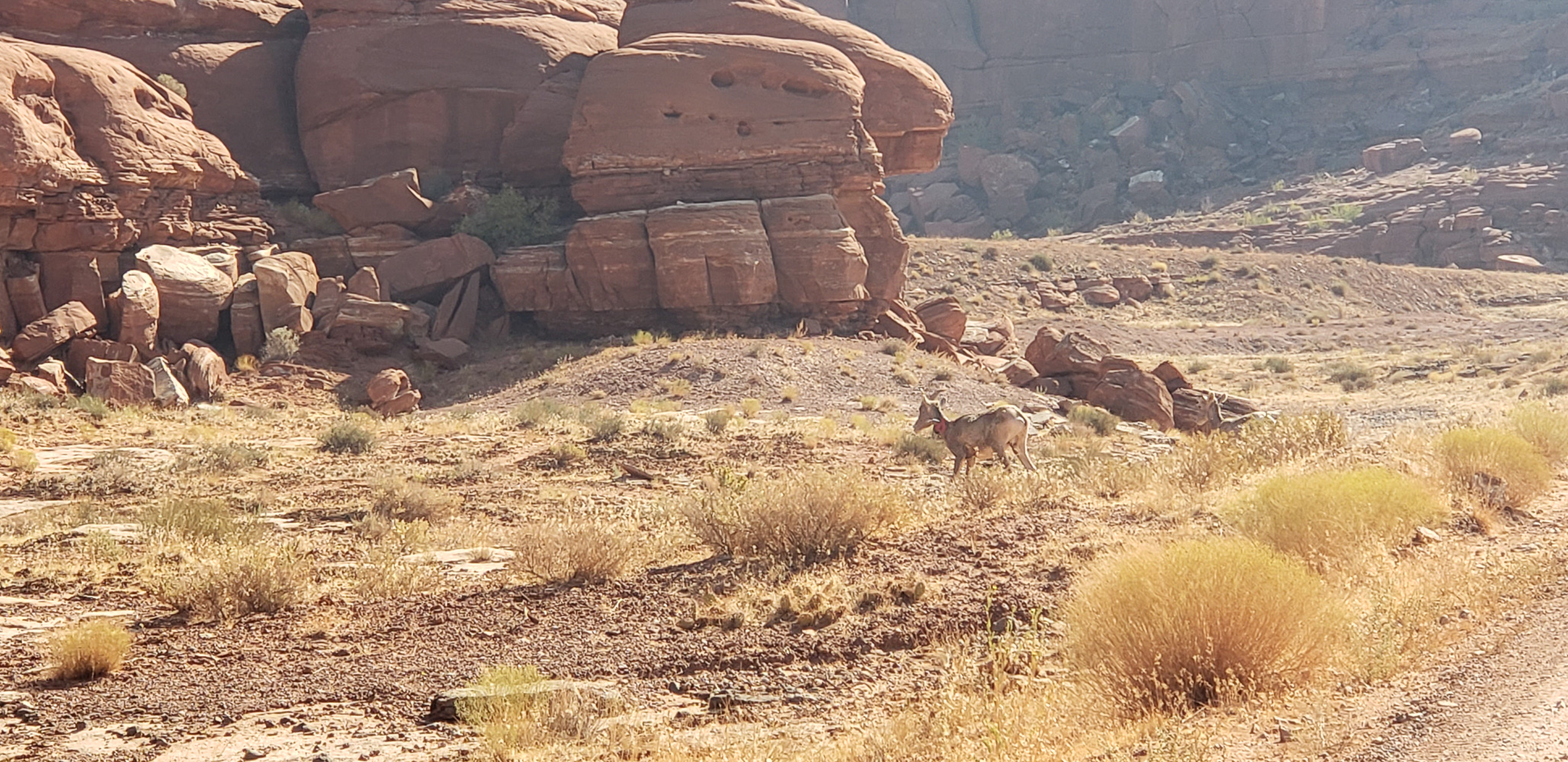 Bighoen sheep along Potash road in Islands of the Sky portion of Canyonlands National Park